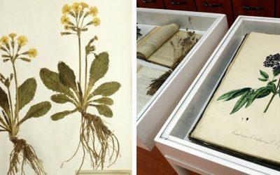Herbár liečivých rastlín môžete vidieť už budúci týždeň v mestskom múzeu