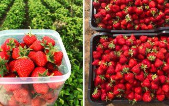 Obľúbený jahodový raj v Majcichove sa otvára už o niekoľko dní. Prídete si nazbierať sladké jahody aj vy? Poznáme ich cenu