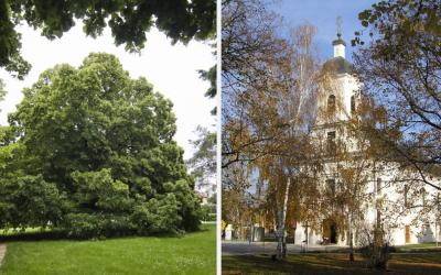 Súťaž o Strom roka 2019 bola spustená. Zahlasujte za 250-ročnú lipu z Dolnej Stredy