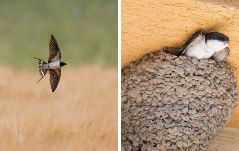Zhadzujú sa v Seredi lastovičie hniezda? Hrozí pokuta až vo výške 10 000 eur