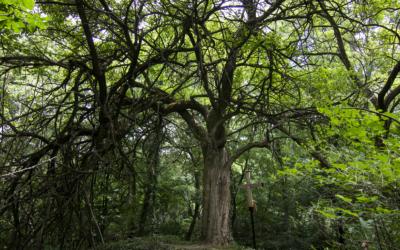 Unikátna Maklura pomarančová, ktorá sa nachádza v háji obce Abrahám, súťaží o titul Strom roka 2020. Dáte jej svoj hlas?