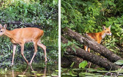 Seredská príroda a zvieratá sú očarujúce. Seredčan Miroslav Mierny ich odfotil pri moste do kempingu
