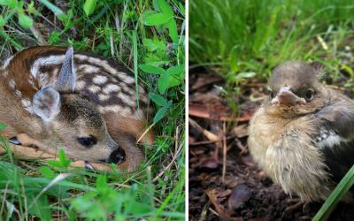 Prichádza jar a s ňou aj mláďatá týchto druhov. Nedotýkajte sa zvierat v prírode, nie sú opustené