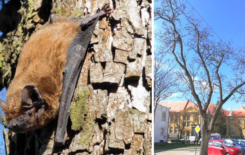V meste vyrúbu starý orech. Mesto zabezpečilo náhradný domov pre netopiere, ktoré v ňom prebývali