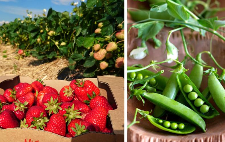 O chvíľu si budete môcť nazbierať jahody na samozbere v Majcichove. Čo všetko okrem nich ešte dostanete?